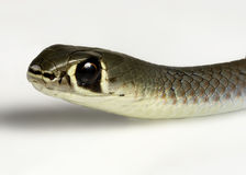Yellow faced whip snake Royalty Free Stock Photos