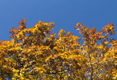 Yellow fading tree leafs. With the blue sky in the background stock image