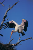 Yellow fakturerad stork Arkivfoton