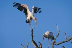 Yellow fakturerade storks Royaltyfri Foto