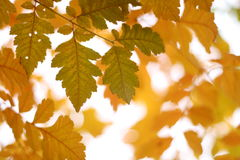 Yellow fall. Yellowing leafs in autumn, bright background Stock Image
