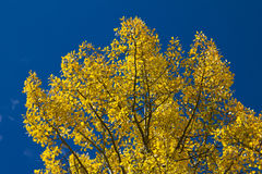 Yellow Fall Aspen Leaves Background. Colorful Colorado Aspen Leaves against the Blue Sky Background royalty free stock photography