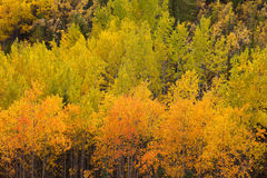 Yellow fall aspen trees Yukon boreal forest taiga Stock Photos