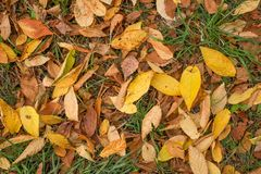 Yellow fall autumn leaves on green grass closeup royalty free stock image