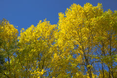 Yellow Fall Elm Trees, Blue Sky. Beautiful fall Elm trees turning from green to bright yellow are a natural contrast against the clear blue autumn sky royalty free stock photos