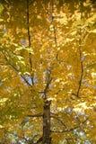 Yellow fall foliage 1. A maple tree displaying its fall foliage Stock Photo
