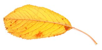Yellow fall leaf Stock Image