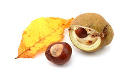 Yellow fall leaf from a red horse chestnut with conkers Stock Photography