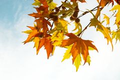 Yellow fall leaves. stock image