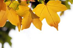 Yellow fall leaves. At a tree stock photo