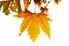 Yellow fall leaves. Stock Photos