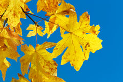 Yellow fall leaves on blue sky Stock Photography