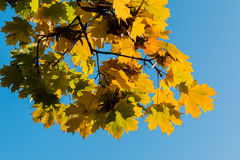Yellow fall leaves on blue sky Royalty Free Stock Photography