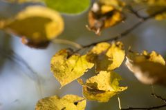 Free Yellow Fall Leaves On Branch Selective Focus Stock Photography - 101840262