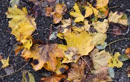 Yellow fall leaves randomly scattered against blacktop Stock Photography