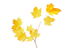 Yellow fall leaves of a sugar maple Stock Image