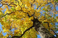 Yellow Fall Maple against Blue Sky Royalty Free Stock Image