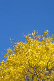 Yellow fall maple leafs royalty free stock image