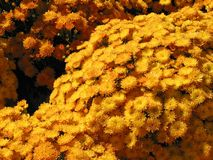 Yellow fall mums Royalty Free Stock Photography