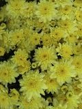 Yellow fall mums Stock Photos