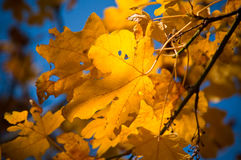 Yellow. Fall oak leaves contrasted against blue Stock Photo