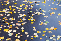 Yellow falled leaves on wet asphalt road. In autumn day Royalty Free Stock Images