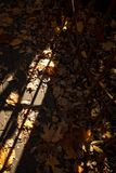 Golden autumn, leaves on earth in the bright light of the sun royalty free stock image