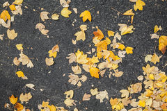 Yellow fallen autumnal leaves lay on asphalt road Stock Photography