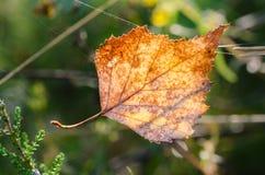 Yellow fallen  birch leaf Royalty Free Stock Photography