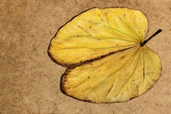 Yellow Fallen Camels Foot Leaf with Brown Edges Stock Photo