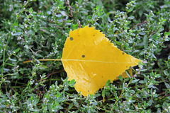 Yellow fallen leaf laying in the wet green grass Stock Image