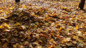 Yellow fallen leaves in autumn forest stock footage