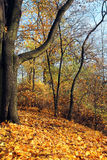 Yellow fallen leaves in autumn park at sunny day Royalty Free Stock Photos