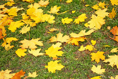 Yellow fallen leaves Royalty Free Stock Image