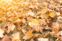 Yellow fallen leaves on grass royalty free stock photos