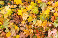 Yellow fallen leaves on ground Royalty Free Stock Image