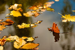 Yellow fallen leaves lie on the surface of the puddle Royalty Free Stock Image