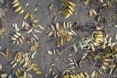 Yellow fallen leaves of pagoda tree. On the ground royalty free stock images