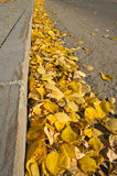 Yellow fallen leaves on the sidewalk Stock Image
