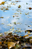 Yellow fallen leaves on the surface of the puddle. The image of Yellow fallen leaves on the surface of the puddle Stock Photography