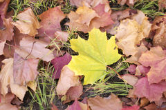 Yellow fallen maple leaf. Lying on the ground among the dried leaves Stock Photography