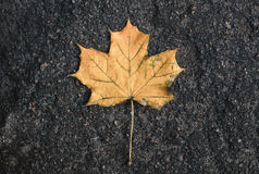 Yellow fallen from the tree on the wet asphalt maple leaf. Autum. N leaf fall Royalty Free Stock Photo