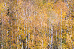 Yellow fallen trees in autumn forest Royalty Free Stock Photos
