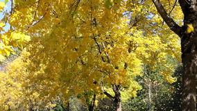 Yellow Falling Beech Trees Leaves in Autumn Season stock video footage