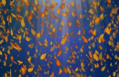 Yellow oak leaves autumn blue background. Yellow falling oak leaves autumn blue background royalty free stock photography
