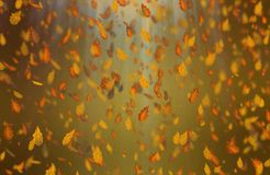Yellow oak leaves autumn brown background. Yellow falling oak leaves autumn brown background royalty free stock photo