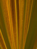 A yellow Fan Palm Leave close up Royalty Free Stock Images