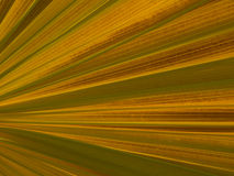 A yellow Fan Palm Leave Stock Photo