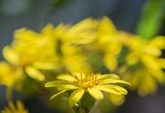 Close up Farfugium japonicum. Yellow farfugium japonicum flower in the autumn garden of taiwan Royalty Free Stock Photography
