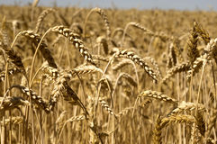Yellow farm field. Yellow grain ready for harvest growing in a farm field Stock Images